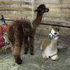 alpacas1_lowres