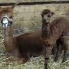 alpacas2_lowres