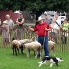 sheep1_lowres