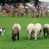 sheep2_lowres