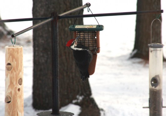 pileated_lowres