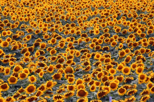 sunflowers1_lowres