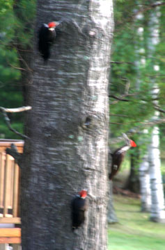 three_pileated_lowres
