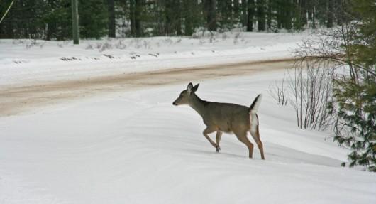 tentative_deer_lowres