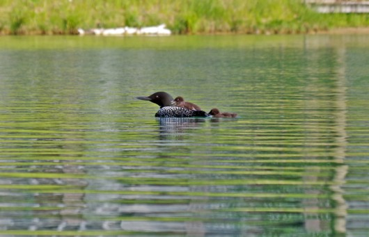 loon_babies2_lowres