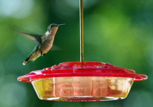hummingbird_lowres