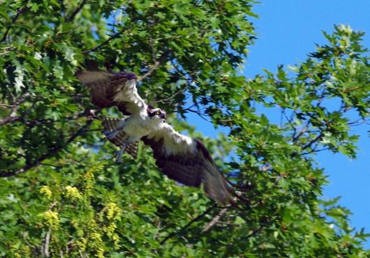 osprey2_lowres