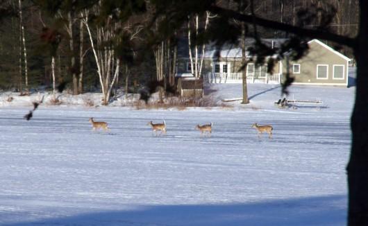 deer_crossingice_lowres