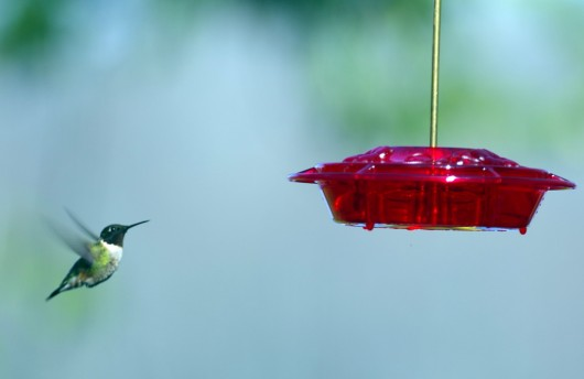 hummingbird_female_lowres