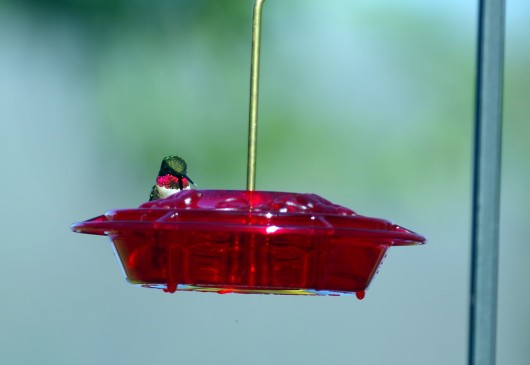 hummingbird_male_lowres