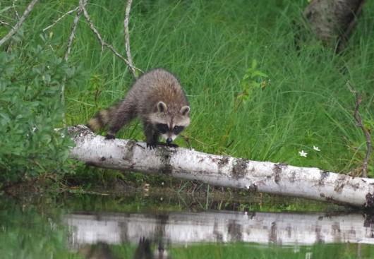 raccoon1_lowres