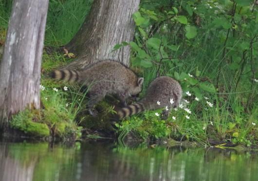 raccoon2_lowres
