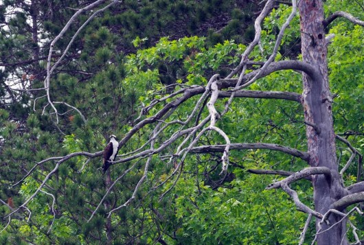 osprey_tree_lowres