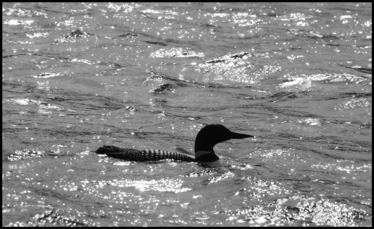 backlit_loon1_lowres