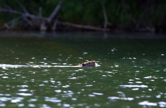 beaverswim_lowres