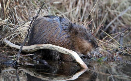 beaver_lowres