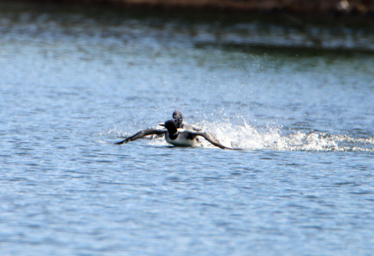 loon_chase2_lowres
