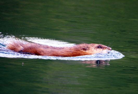 swimming_beaver_lowres