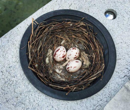 kingbird_eggs_lowres