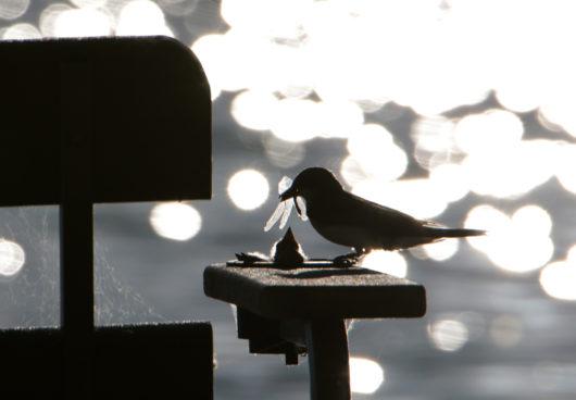 kingbird_feed3_lowres