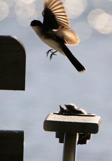 kingbird_feed4_lowres