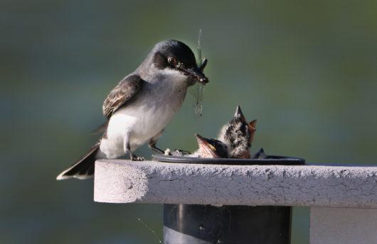 kingbird_feed5_lowres