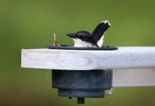 kingbird_nesting2_lowres