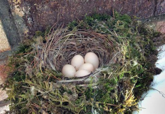 phoebe_eggs_lowres