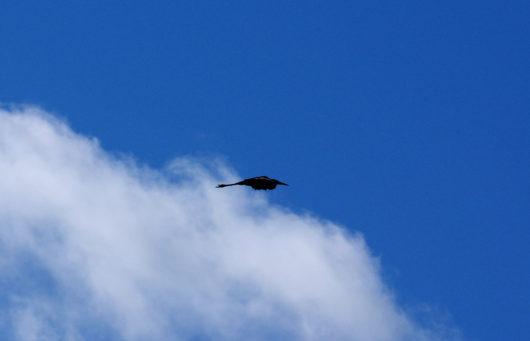 flying_heron_lowres