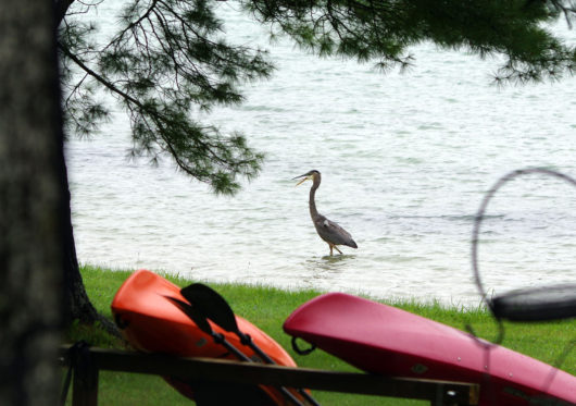 shore_heron_lowres